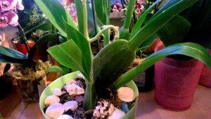 Пересадка орхидеи Одонтоглоссум