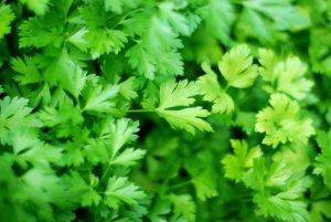 Зеленая петрушка