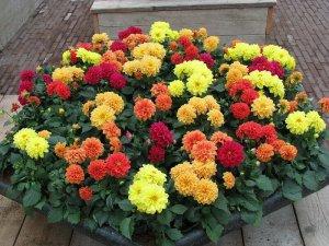 Уход за цветущими георгинами