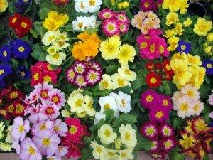 Красивые цветы примула