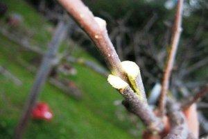 Прививка в расщеп плодовых деревьев