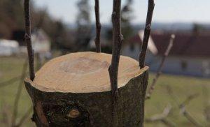 Прививка плодовых деревьев за кору