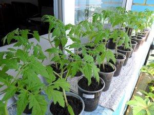 Нюансы подготовки рассады томатов