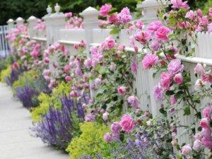 Варианты размещения роз в саду