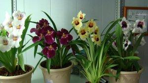 Размножение орхидеи мильтонии