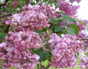Обрезка для регулирования цветения