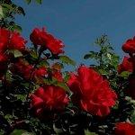 Розы в саду: особенности посадки и ухода