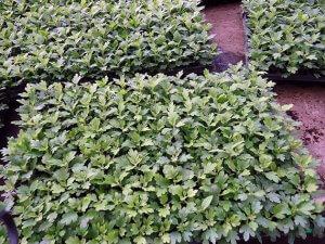 Саженцы хризантемы