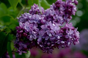 Сирень Виолетта