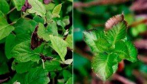 Септориозная пятнистость листьев