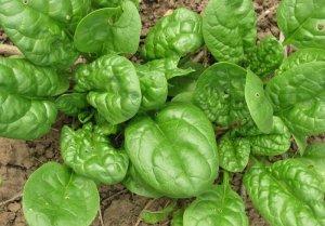 Выращивание шпината на огороде