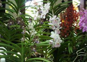 Симподиальные орхидеи