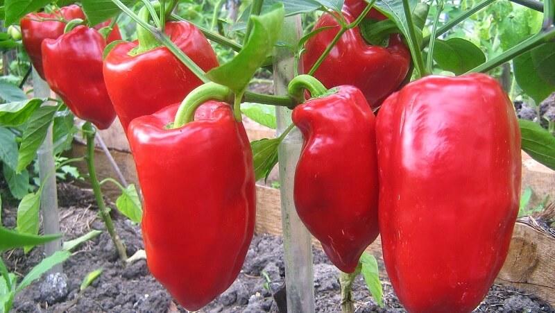 Выращиваем сладкий перец