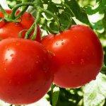 Выращивание томатов на участке: правила посадки и ухода