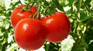 Выращиваем томаты на участке