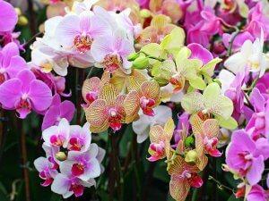 Уход за цветущими орхидеями