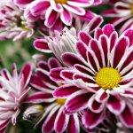 Хризантема: особенности посадки и ухода