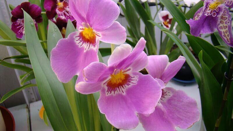 Особенности ухода за орхидеей
