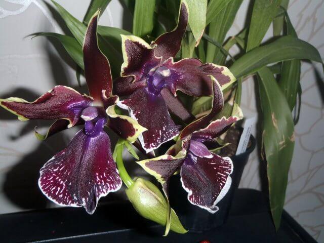 Уход за орхидеей Зигопеталумом