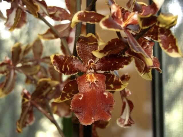 Орхидея Вайлстекеара Камбрия