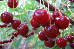 Подкормка вишни