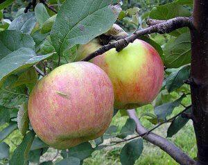 Сорт яблони Витязь