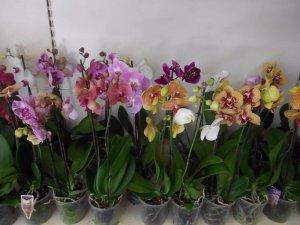 Выбр орхидеи
