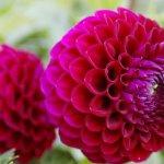 Георгины: особенности выращивания и ухода