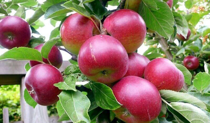 Выращиваем яблони и груши в саду