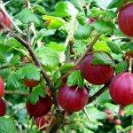 Крыжовник: особенности выращивания и ухода