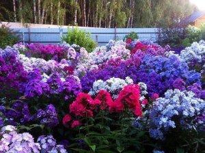 Выращивание флоксов в саду