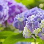 Выращивание гортензии – полезные советы. Основные виды и сорта