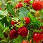 Земляника садовая: особенности выращивания и ухода
