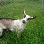В Свердловской области будут разводить коз