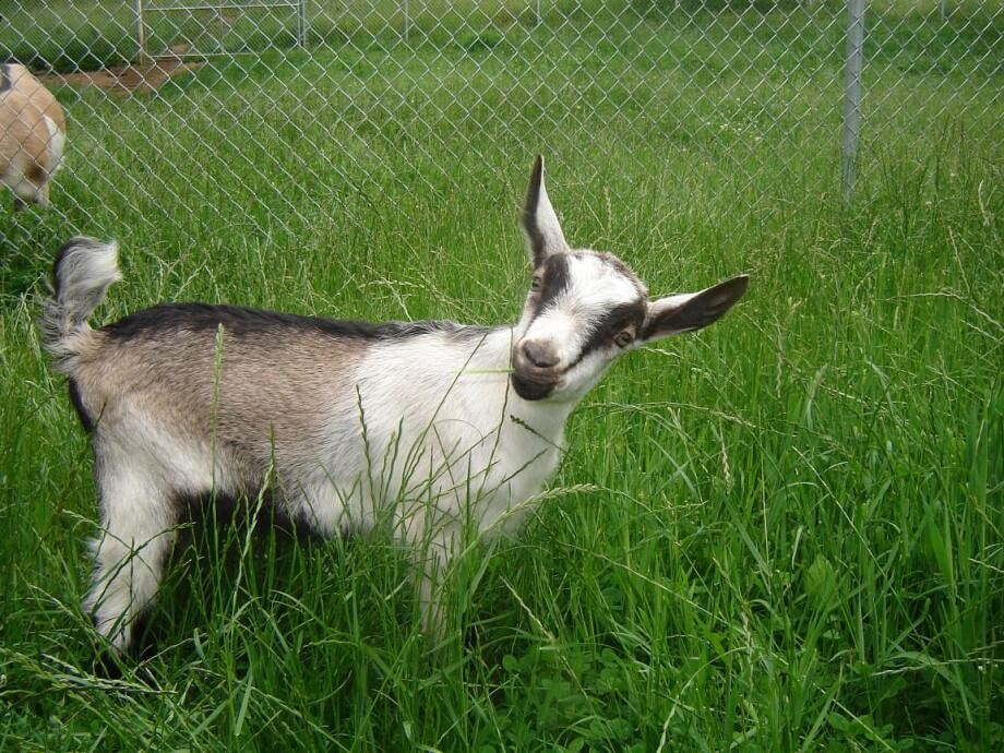Альпийская коза