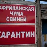 Африканская чума свиней продолжает охватывать новые территории Владимирской области