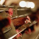 Котласская птицефабрика начала действовать