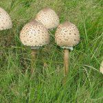 Гриб-зонтик пестрый: особенности и способы выращивания