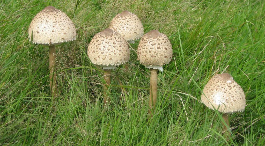 Описание, гриб-зонтик пестрый