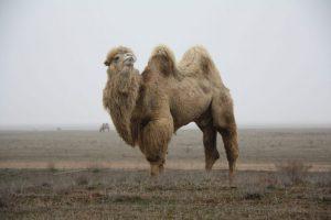 Калмыцкий двугорбый верблюд