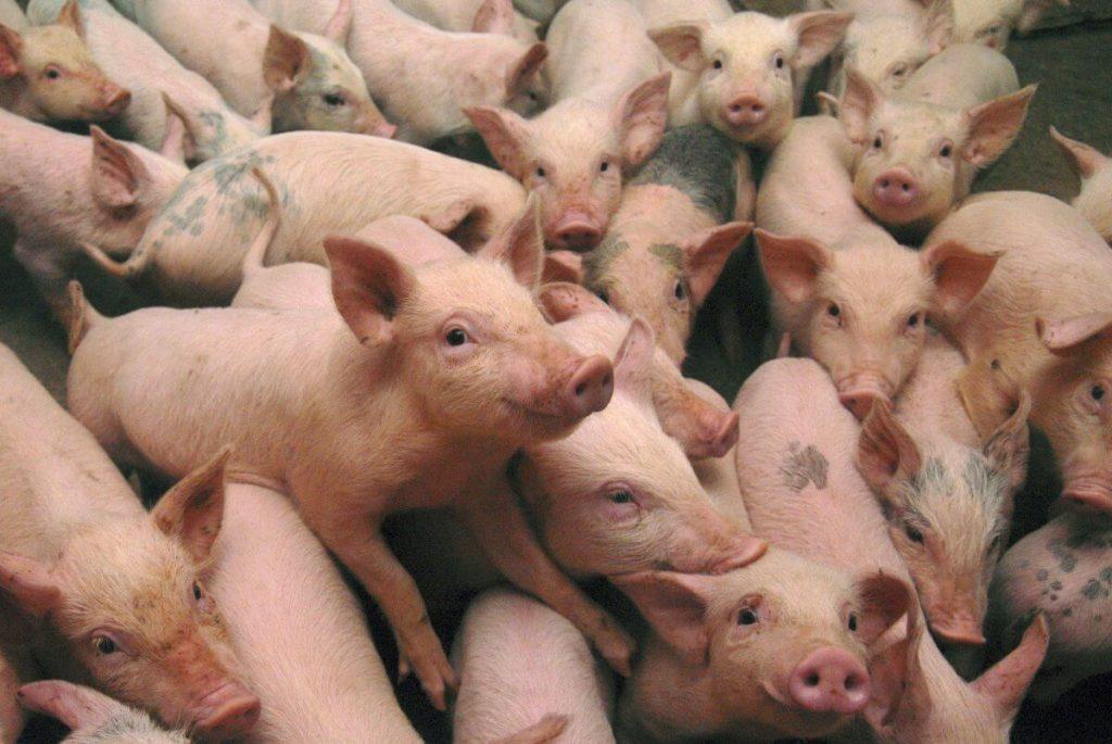 Свиноводческая отрасль