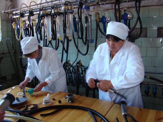 воспроизводство дойного стада в КЕмеровской области достигается искусственным осеменением