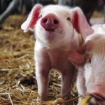 Государство и дальше будет поддерживать свиноводческую отрасль