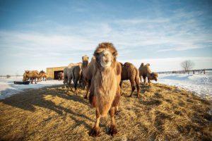 Стадо верблюдов