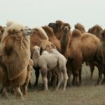 Верблюдоводство: основные отрасли и перспективы разведения