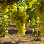 Россию засадят виноградниками