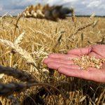 Удмуртия сократила сбор зерновых