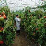 Дагестан отвечает на западные санкции увеличением объемов выращенных овощей