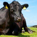 Агрохолдинг «Мираторг» увеличивает численность своих ферм