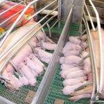 Новый год для Липецкой области начнется с запуска нового свиноводческого мега-комплекса